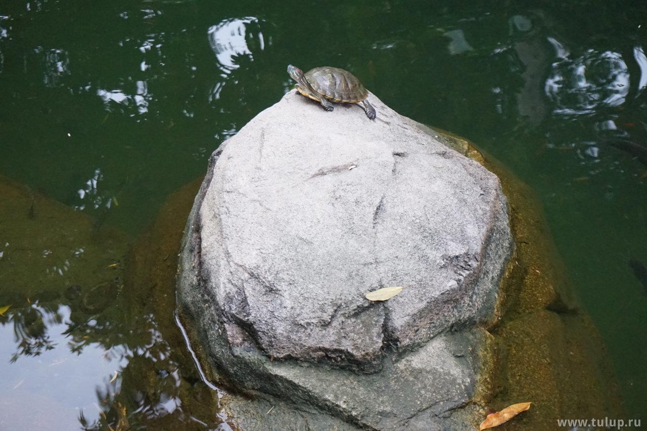 甲鱼 — «Панцирная рыба» — одно из названий черепахи по-китайски
