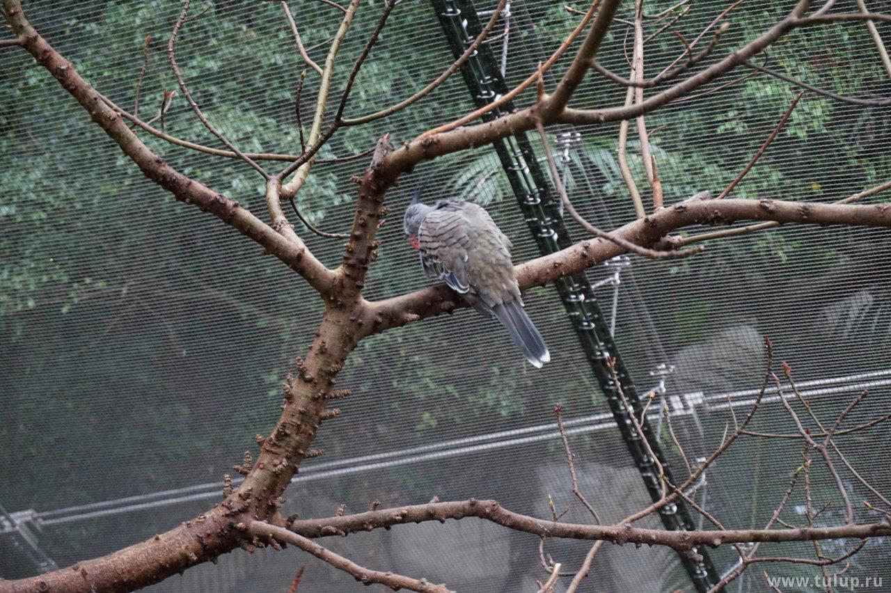 Хохлатый голубь
