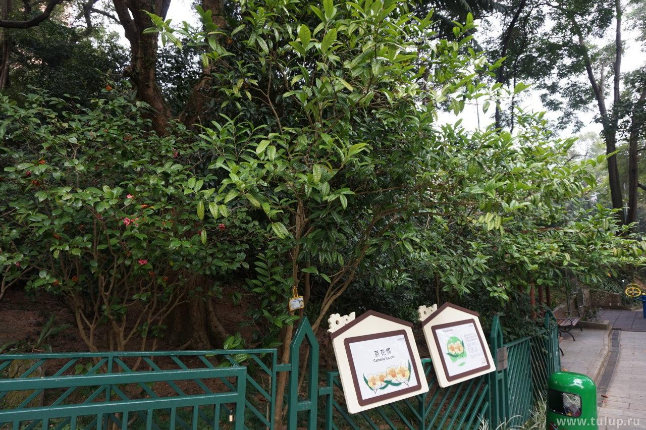 Сад Камелий
