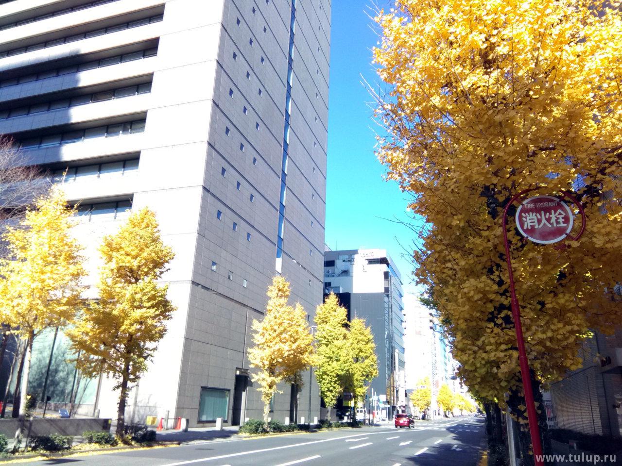 Дерево Gingko, один из символов Японии