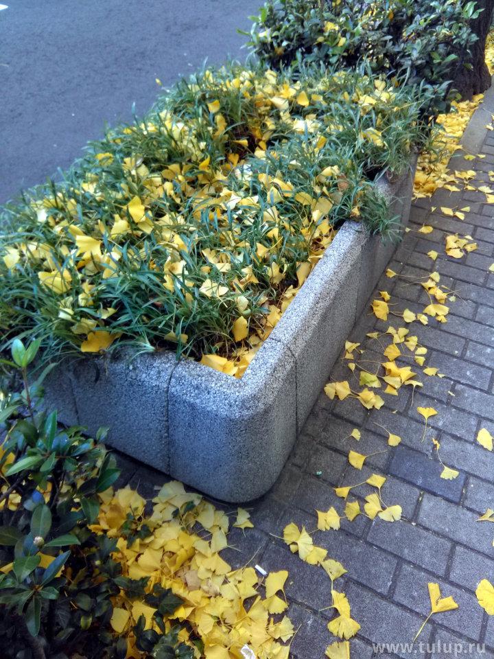 Желтые листья дерева гинко