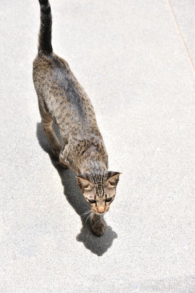 Тайский плоский кот